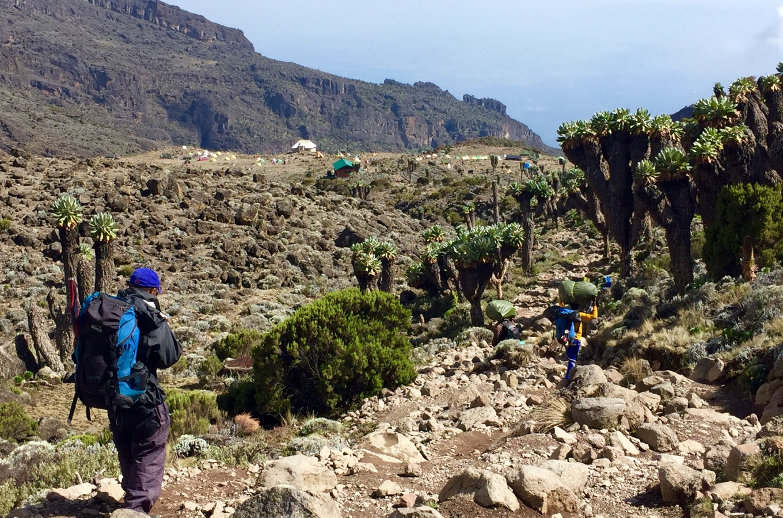 Séneçons géants (Dendrosenecio kilimanjari) avant d'arriver au Baranco Camp