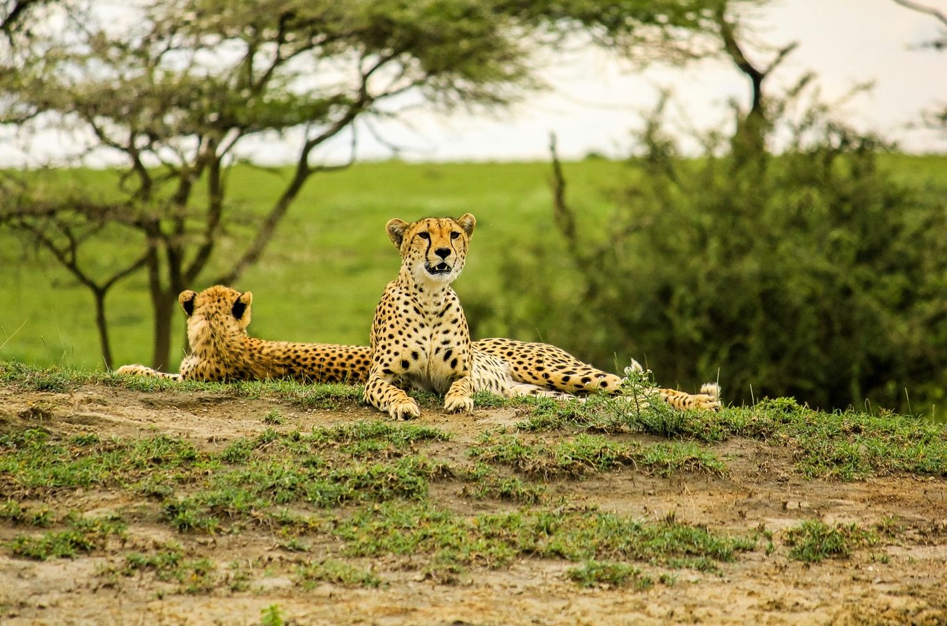 Liegende Geparden im Serengeti Nationalpark, Tansania