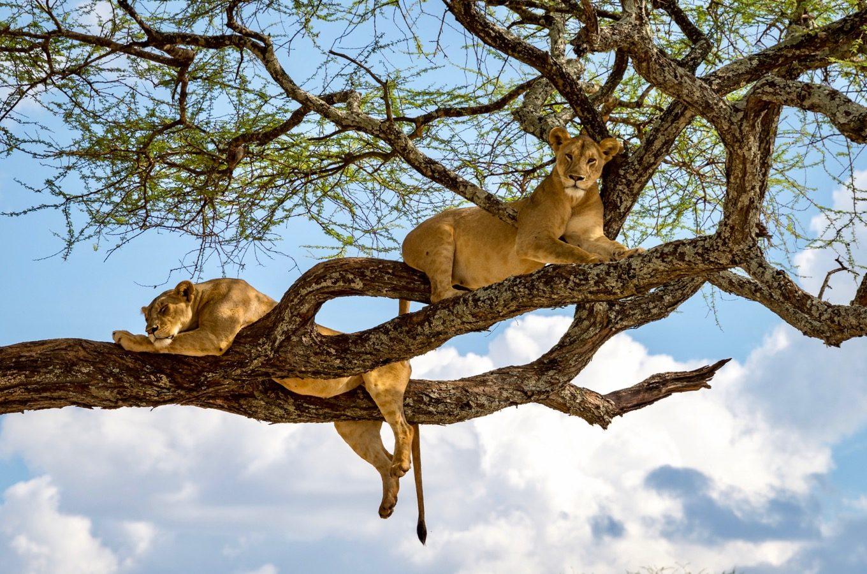 Löwen liegen auf einem Baum im Lake Manyara Nationalpark. Sie werden auch Baumlöwen genannt.