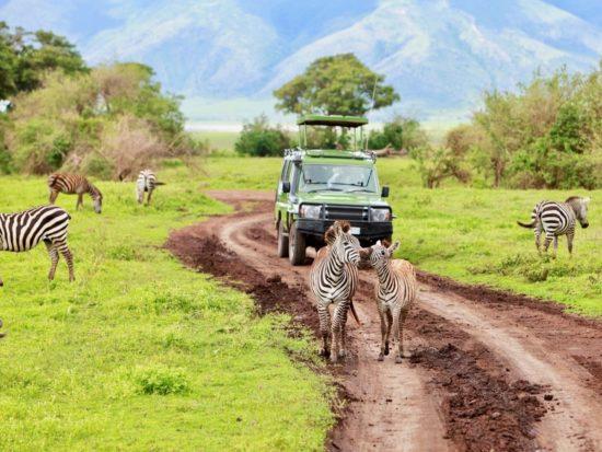 Zèbres devant une Jeep en safari dans le parc national du Ngorongoro