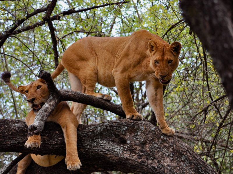 Deux lions du parc national du lac Manyara en Tanzanie jouent sur un arbre. On vous appelle les lions des montagnes.
