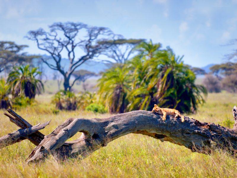 Lion sur un tronc d'arbre dans le parc national du Serengeti