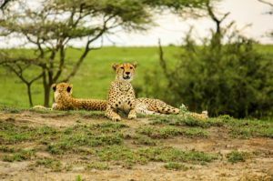 Guépards allongés sur l'herbe dans le parc national du Serengeti