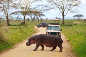 Un hippopotame traverse une route pendant un safari en Tanzanie