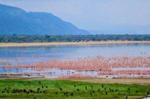 Flamants roses au parc national du lac Manyara en Tanzaniea