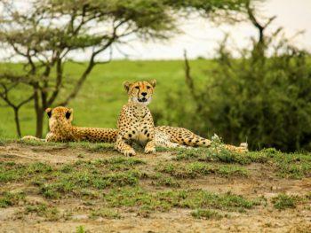 Guépards allongés dans le parc national du Serengeti, Tanzanie