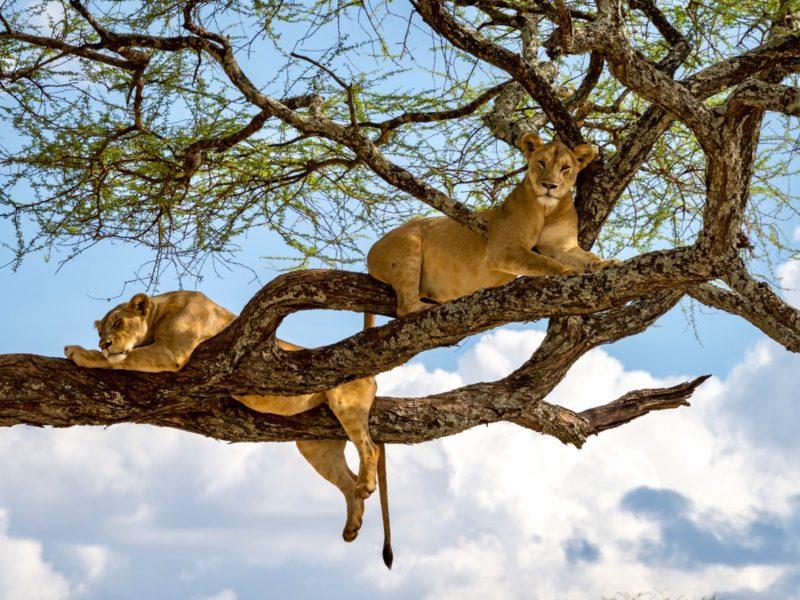 Des lions reposent sur un arbre dans le parc national du lac Manyara. On les appelle aussi lions des arbres.