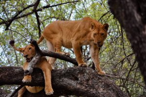 Two lions in Lake Manyara National Park in Tanzania play on a tree. They are also called mountain lions.