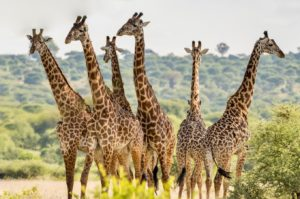 A group of giraffes in the Tarangire National Park in Tanzania