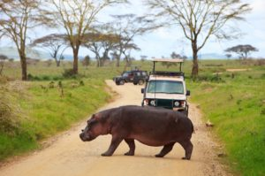 A hippo crosses a road during a safari in Tanzania