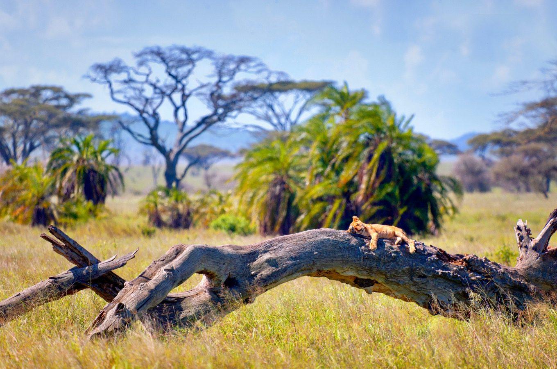 Un jeune lion couché sur un tronc d'arbre dans le parc national du Serengeti