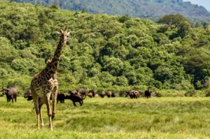 Animals in Arusha National Park at the foot of Mount Meru
