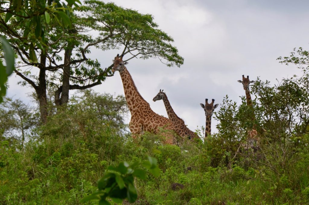 Giraffes in Arusha National Park at the foot of Mount Meru