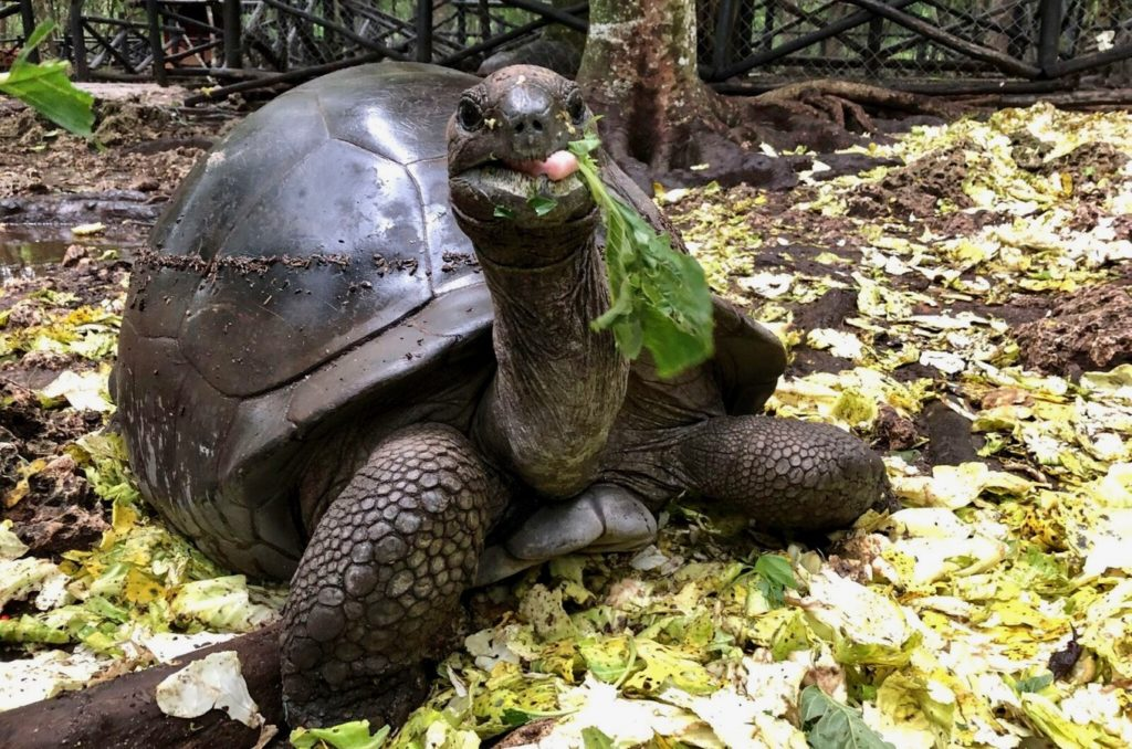 Giant tortoise on Zanzibar
