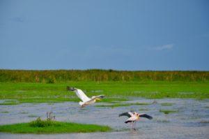 Pélicans sur le lac Manyara en Tanzanie