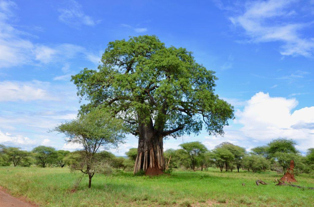 Monkey bread tree in Tarangire National Park