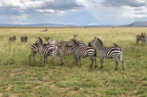 Zèbres pendant la grande migration dans le Serengeti