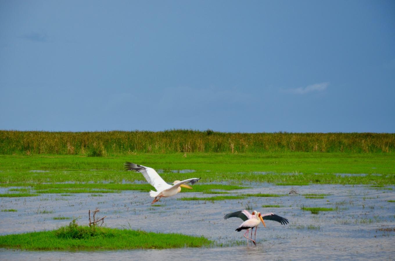 Pelicans on Lake Manyara in Tanzania