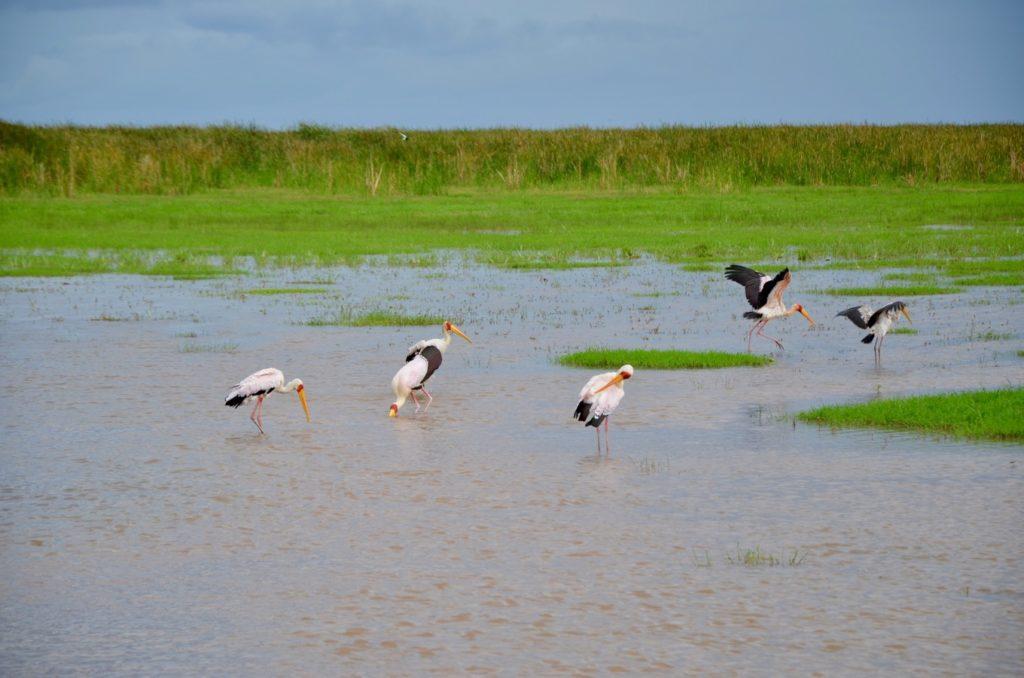 Stork on Lake Manyara in Tanzania