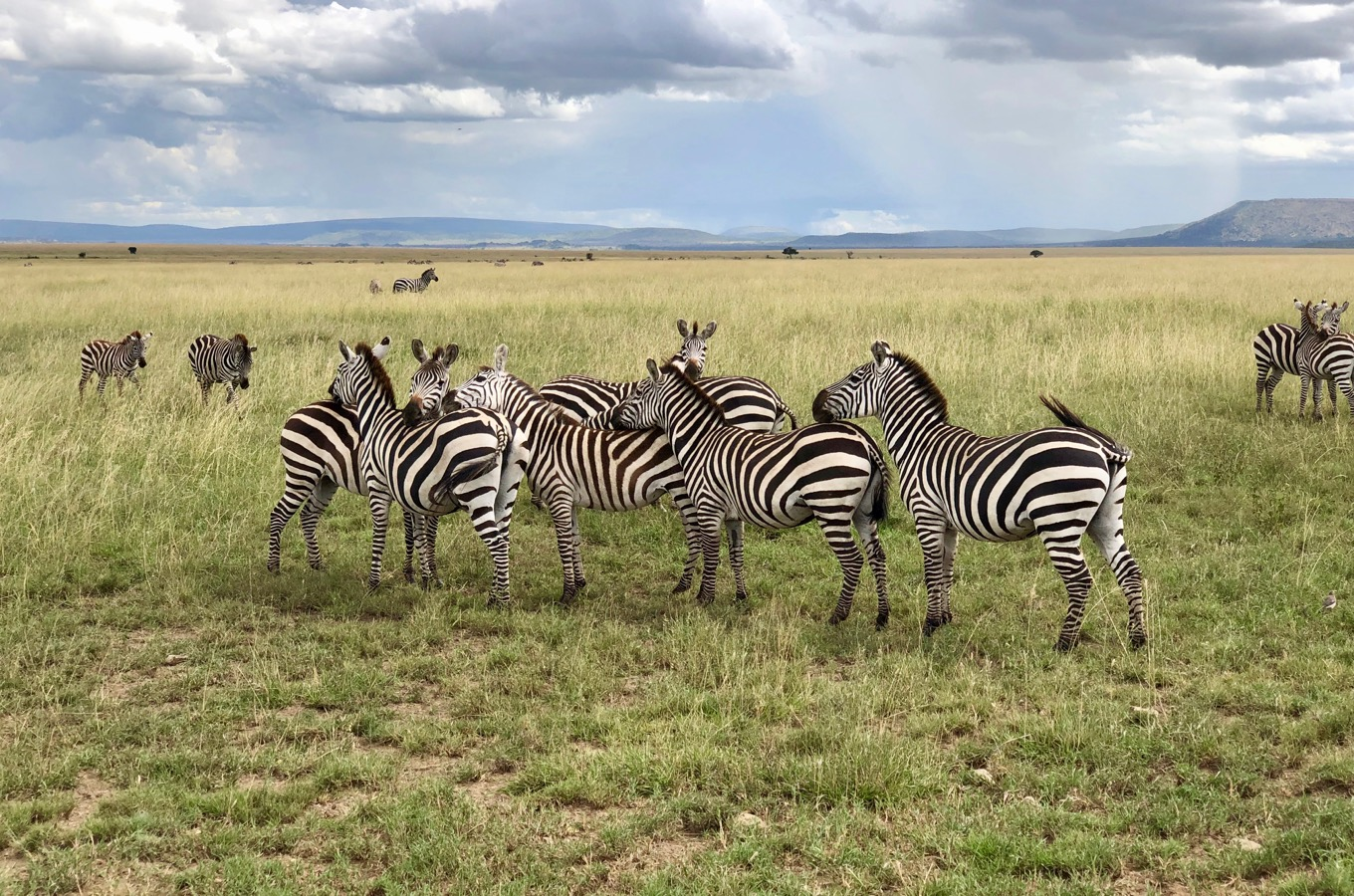 Zebras during the Big Migration in the Serengeti