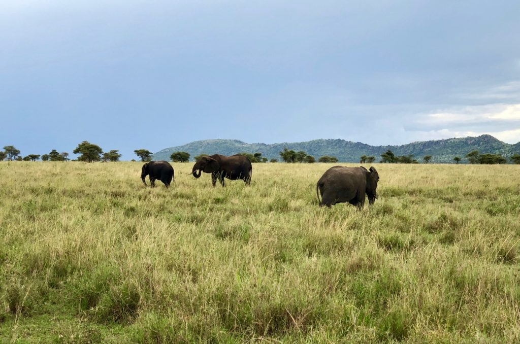 Elephants in the Serengeti steppe