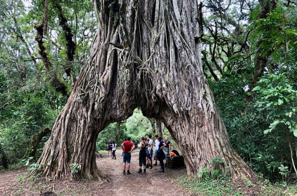 Fig Tree Arch, an exceptionally grown tree at Mount Meru