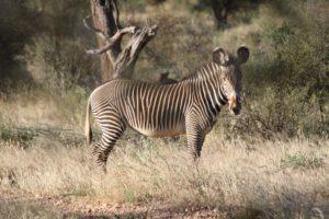 Grevy zebra in samburu kenya