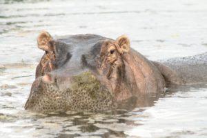 Hippo in Pool Kenya