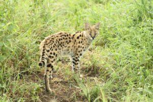 Serval im Ngorongora Crater im hohen Gras