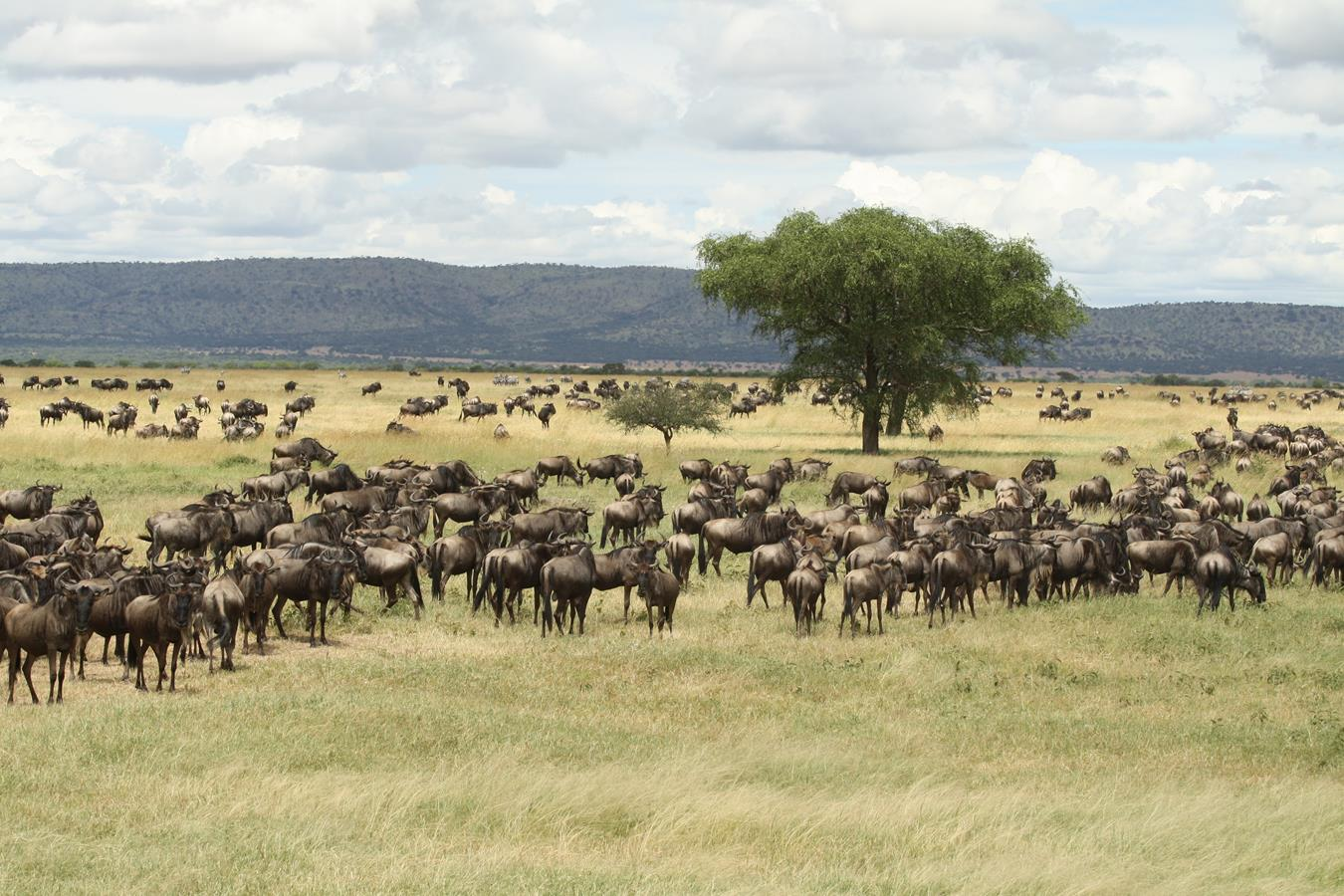 Gnus_Serengeti_Wanderung_Tansania