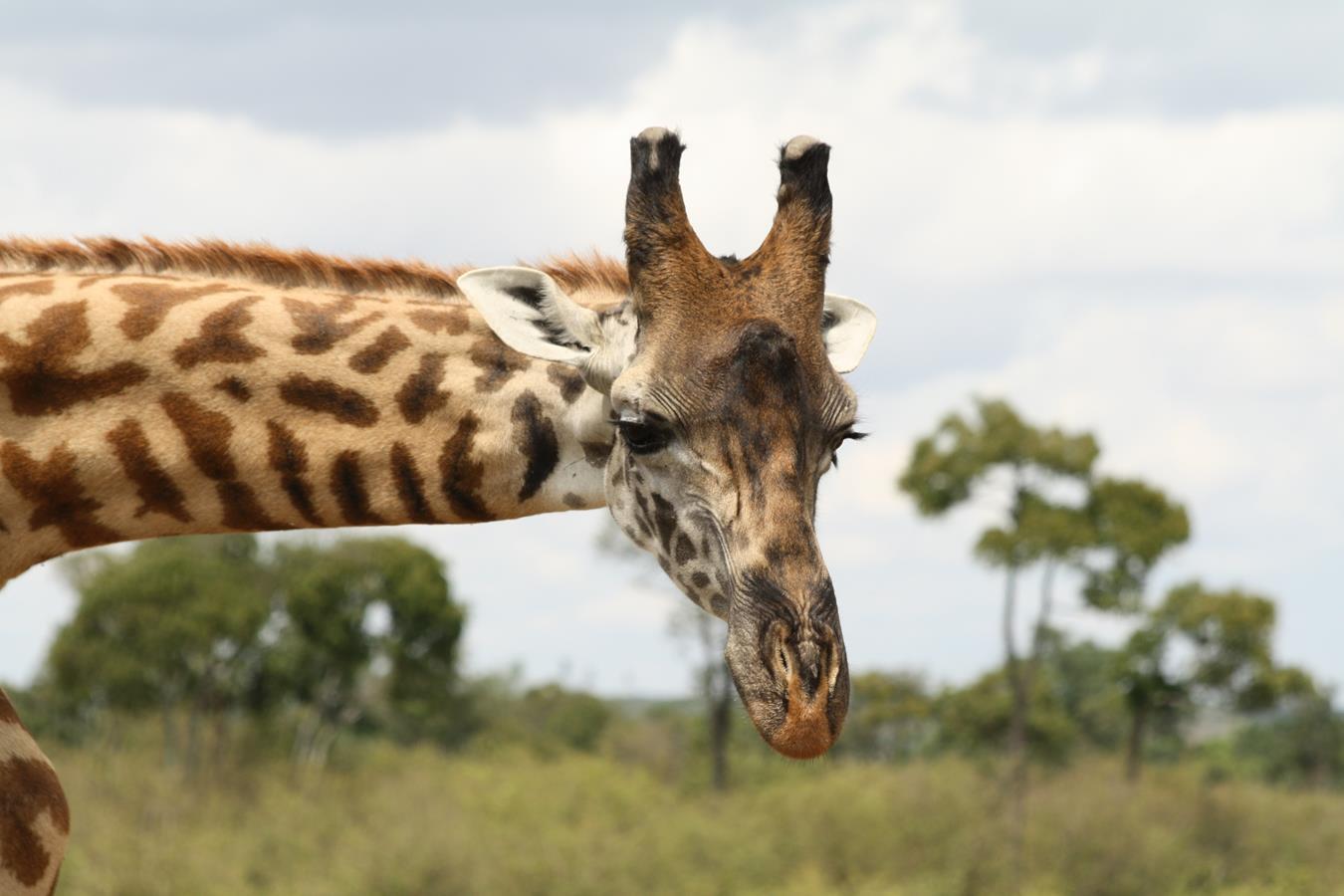 Giraffe von links