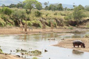 Giraffe mit Zebra und Nilpferd am Mara Fluss Kenia