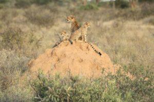 Geparden Familie auf Hügel Samburu