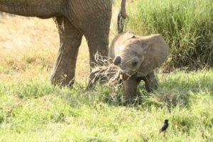 Kleiner Elefant probiert Gras zu fressen Kenia