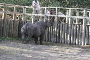 Blindes Nashorn Baraka in Sweetwater Ol Pejeta SchutzgebietKenia