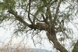 Léopard sur l'arbre Cratère du Ngorongoro