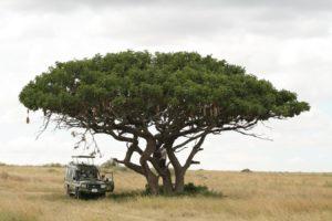 Pique-nique sous un arbre à saucisses dans le Serengeti