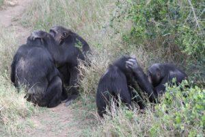 chimpanzés jane goodall eau douce kenya