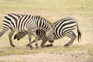 combattre les zèbres dans le serengeti