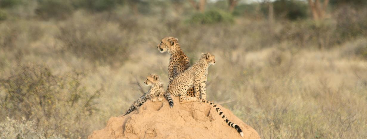 famille cheeta samburu kenya