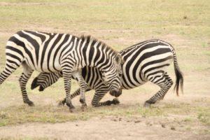 fighting zebras in serengeti