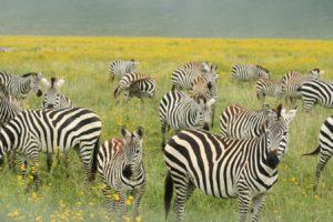 les zèbres en mai dans le cratère du ngorngoro