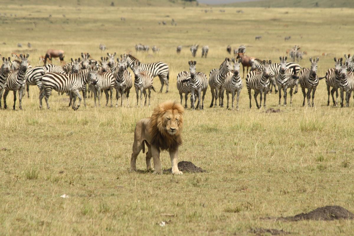 lion in front of zebras maasai mara Kenya