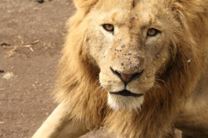 lion nearby jeep in ngorongoro crater