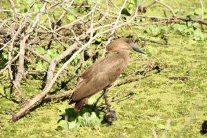 oiseau à tête marteau kenya