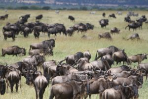 wildbeests in serengeti before great migration
