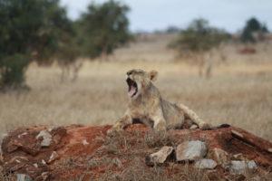 Junger Löwe nach Jagd Taita Hills