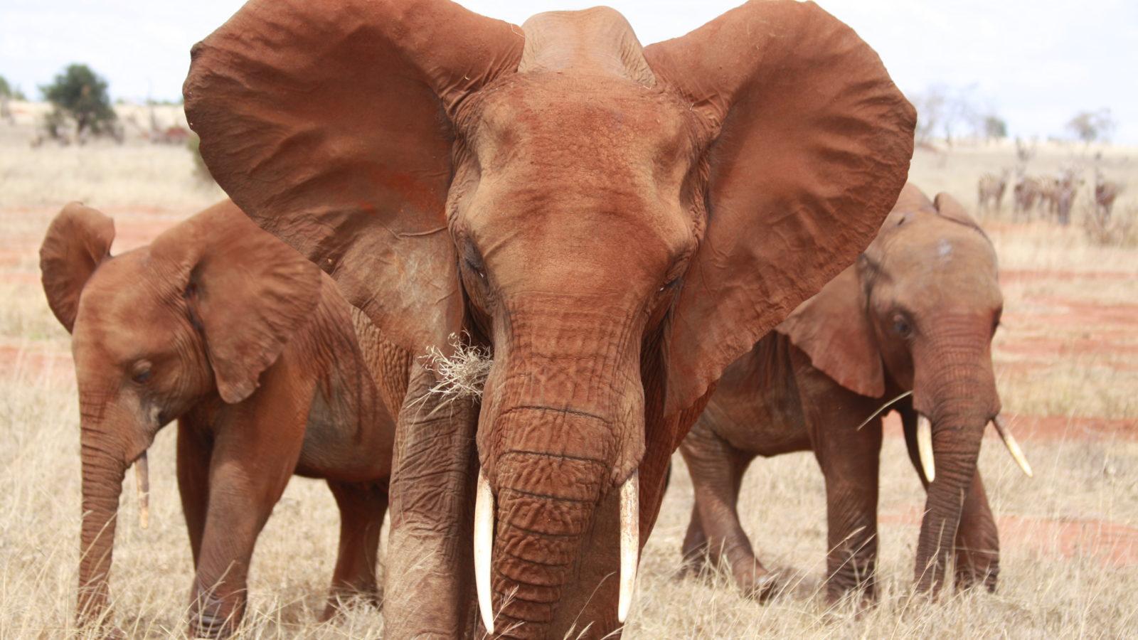 Rote Elefanten Tsavo