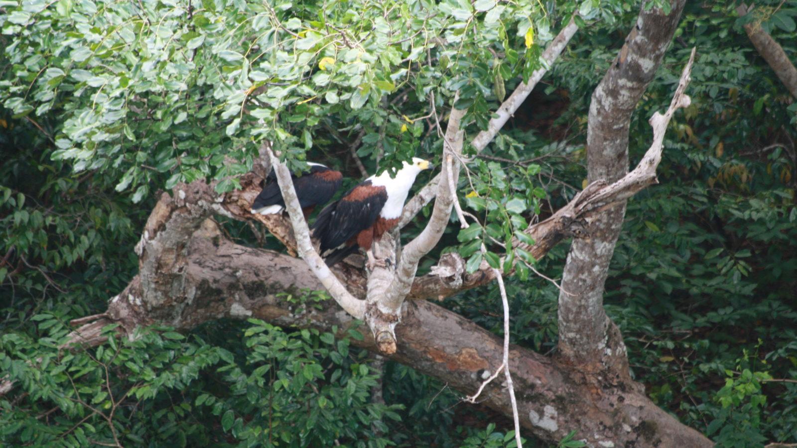 Fischadler Shimba Hills