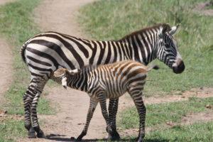 Zebra and baby